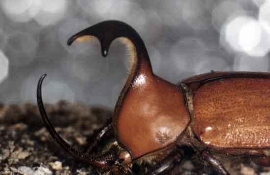 Cuernos: un nexo entre mamíferos e insectos millones de años después